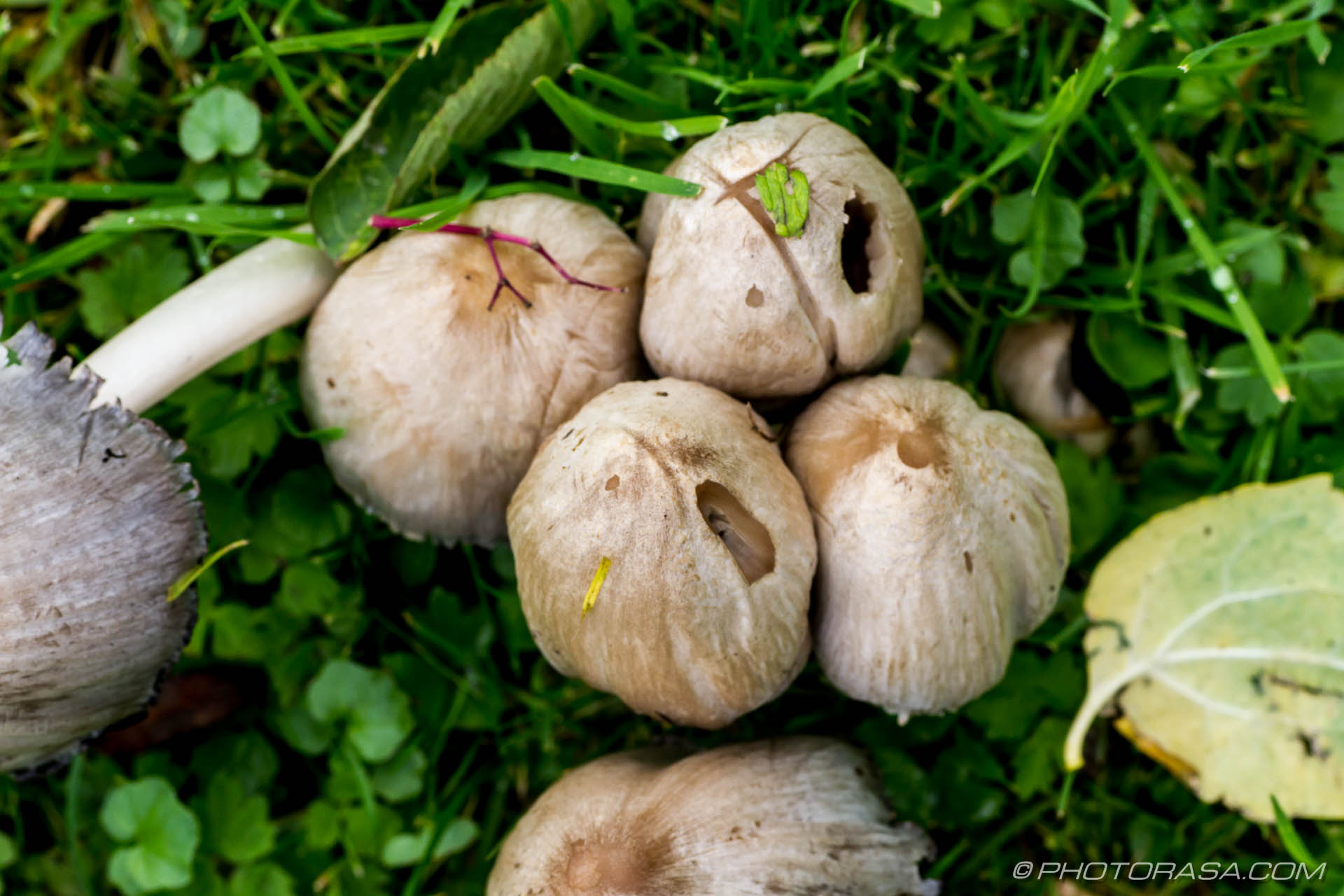 http://photorasa.com/common-ink-cap/ink-cap-closed-cups/