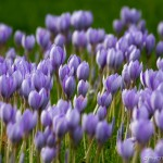 large flowering of purple crocuses