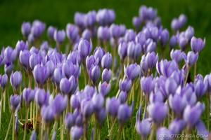 large flowering of purple crocuses
