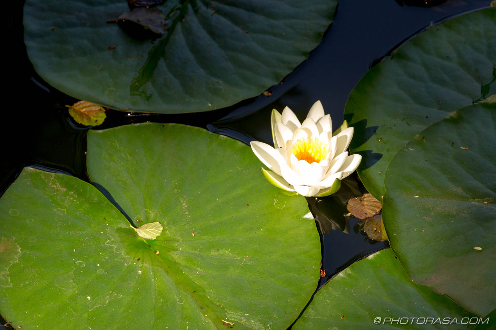 http://photorasa.com/chiddingstone-castle/lily-and-lilypads/