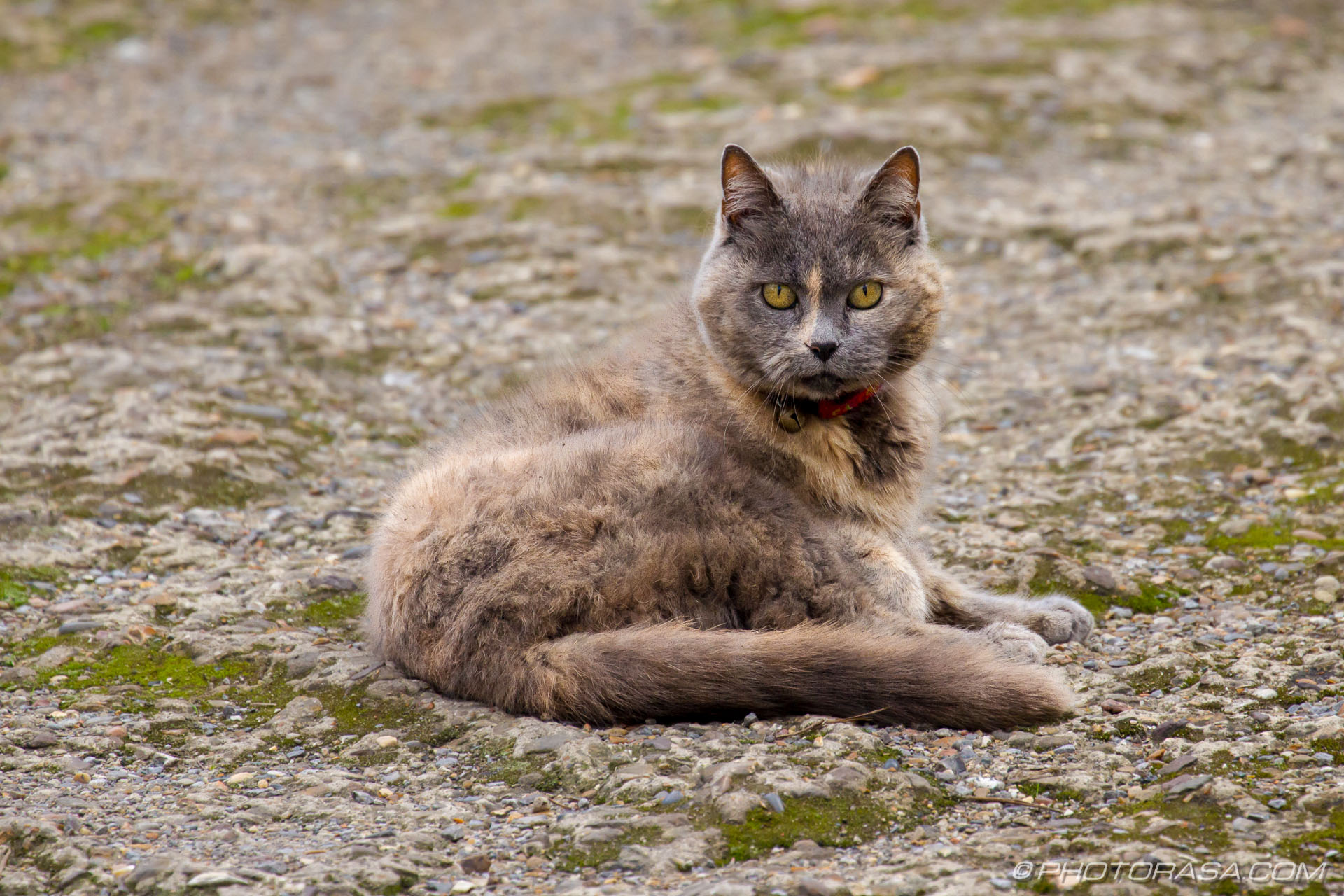 http://photorasa.com/grey-ginger-moggy/grey-ginger-cat-2/