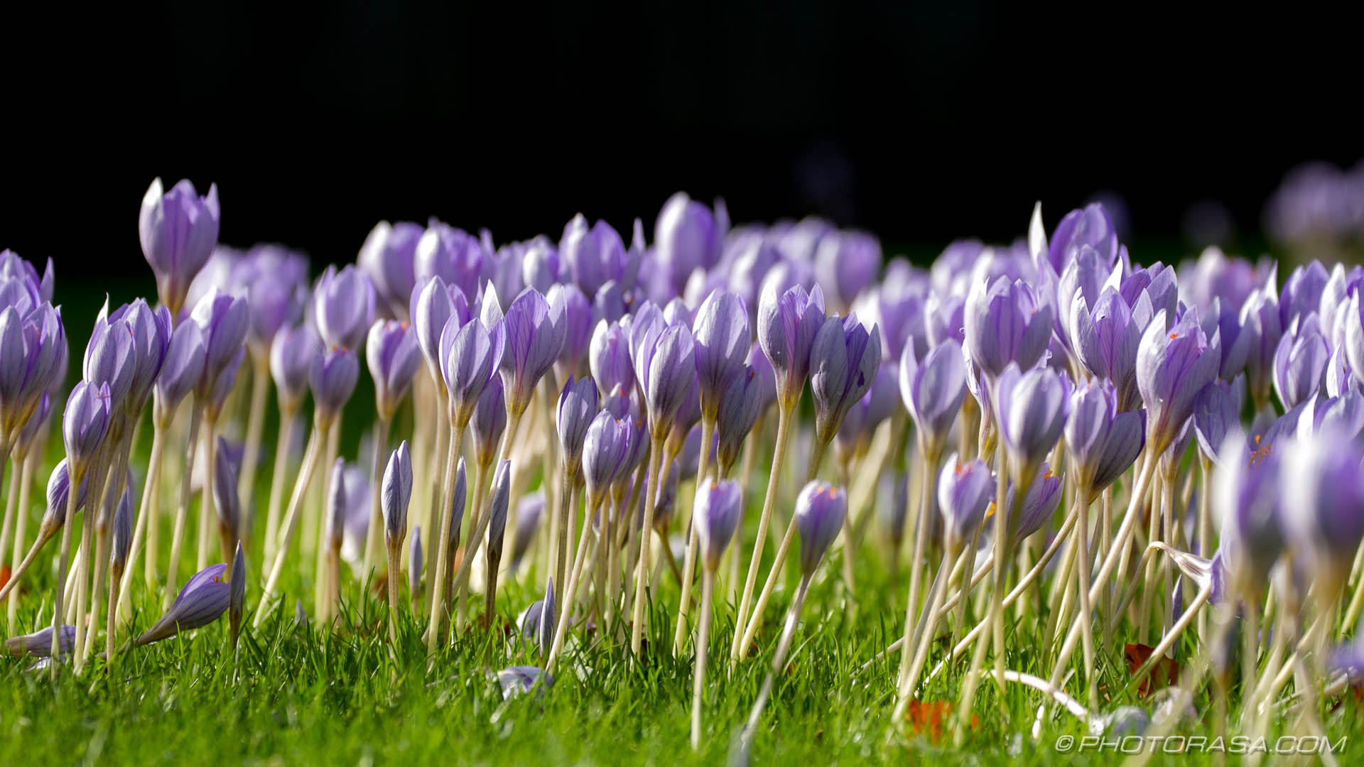 http://photorasa.com/purple-autumn-crocuses/many-from-the-side/