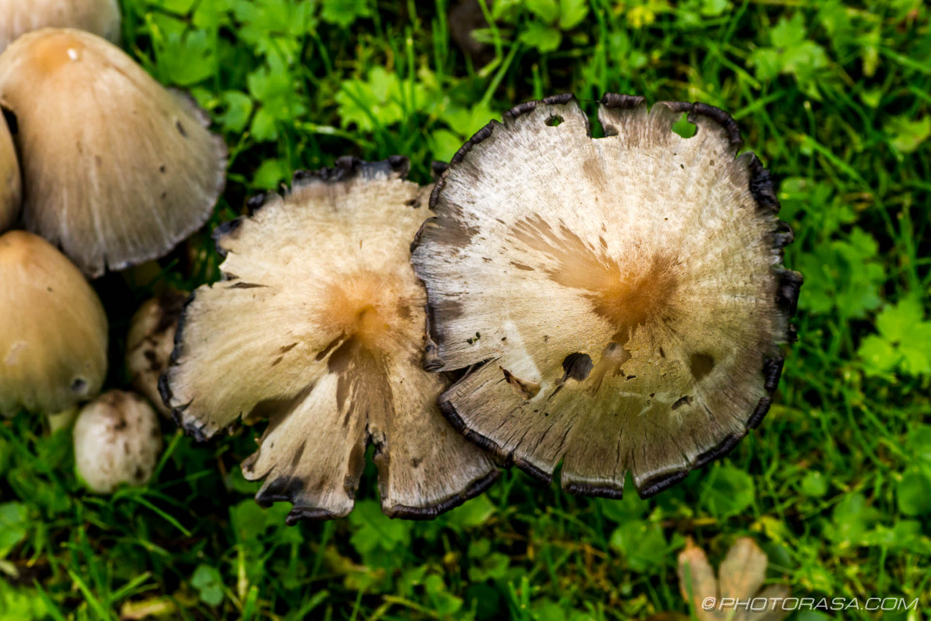 http://photorasa.com/common-ink-cap/mature-ink-caps-from-above/