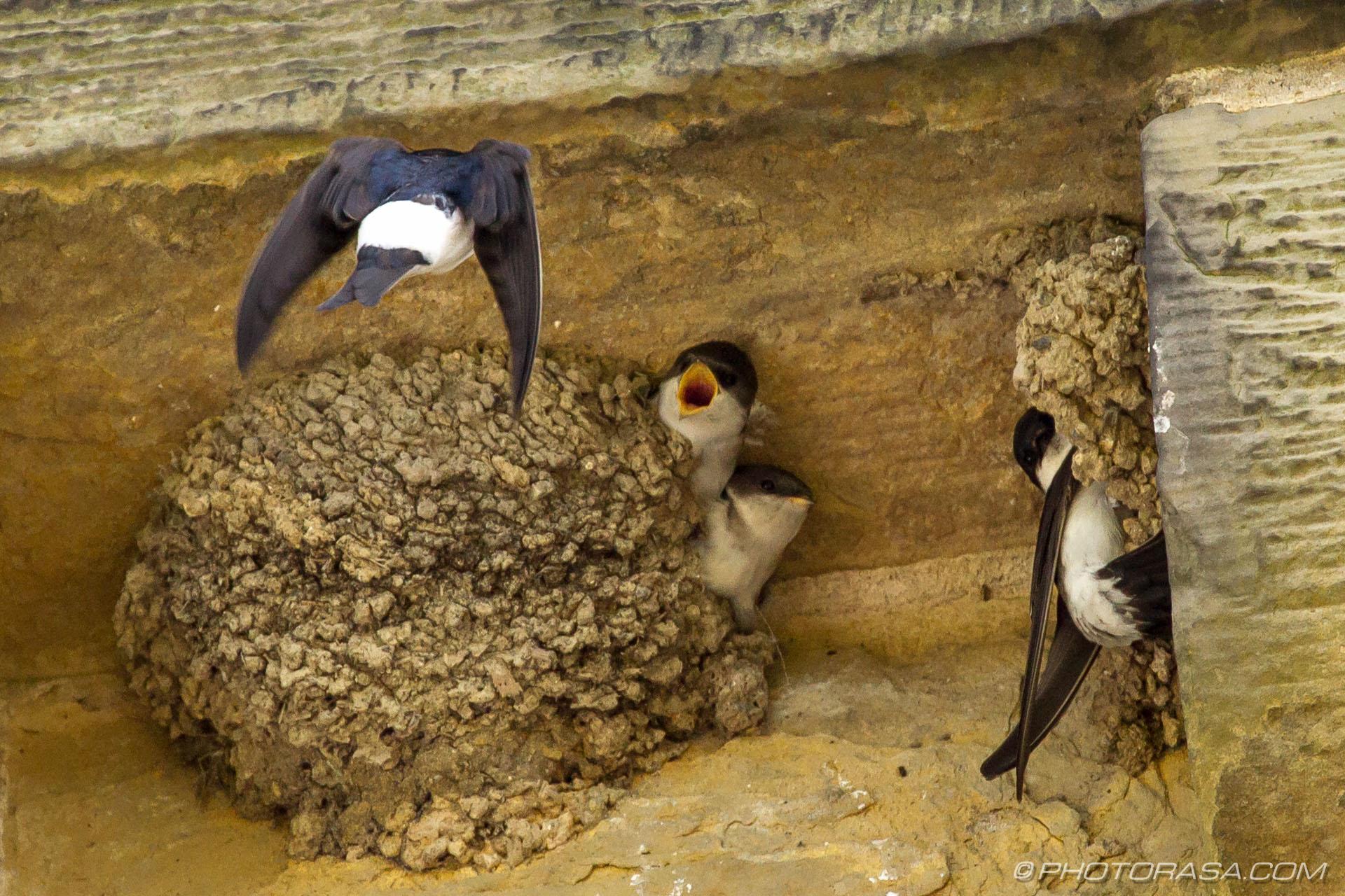 http://photorasa.com/family-house-martins-nesting/mum-bringing-home-some-food/