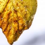 old autumn leaf full of holes