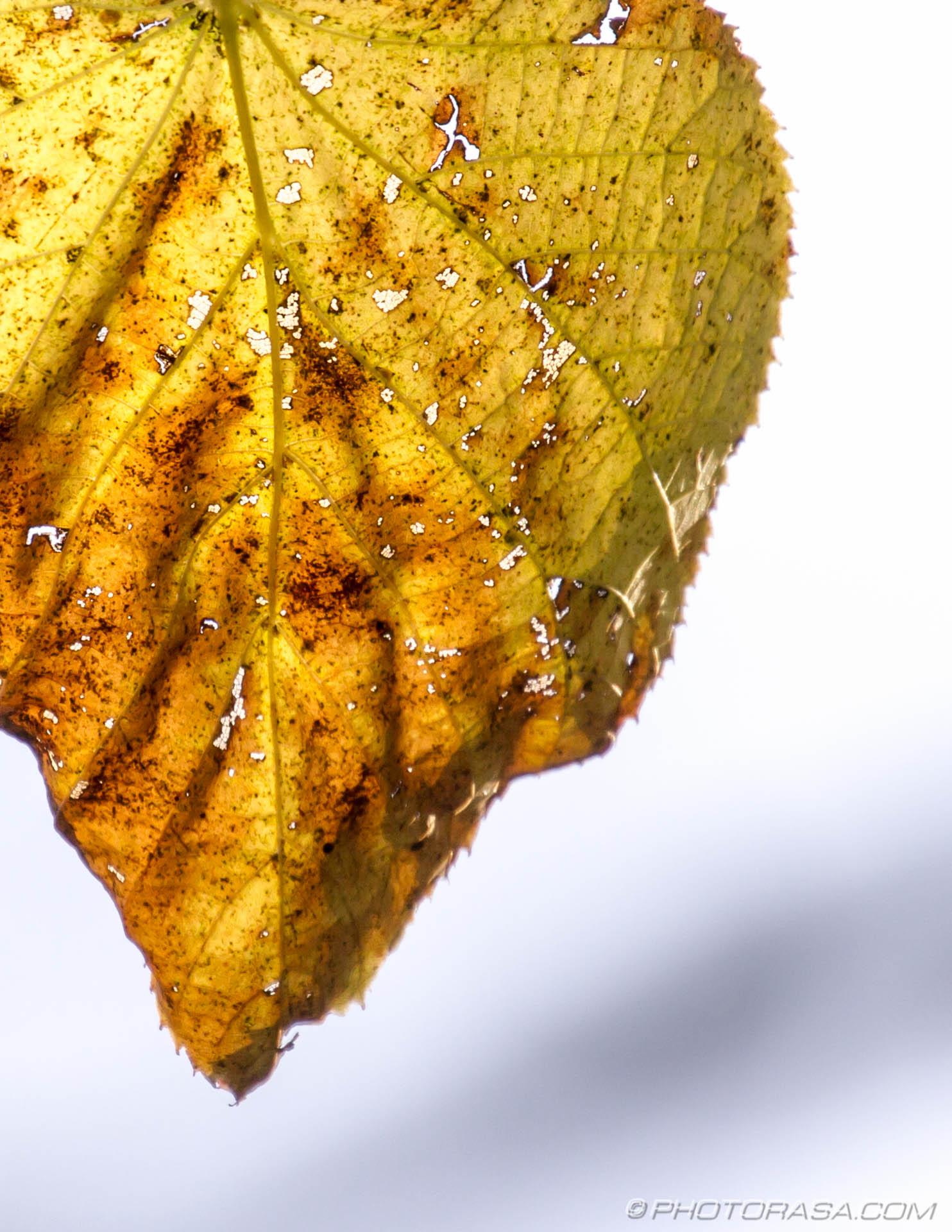 http://photorasa.com/autumn-leaves/old-autumn-leaf-full-of-holes/