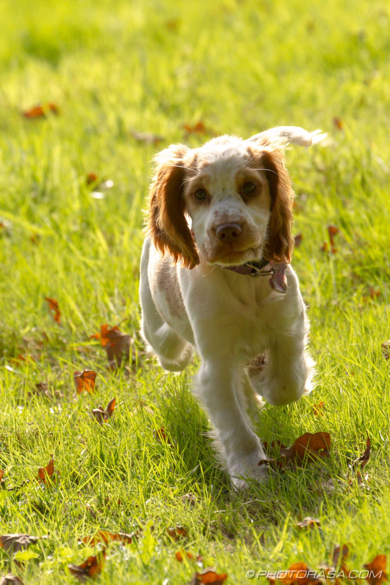 http://photorasa.com/spaniel-puppy-playing-sun/paw-up/