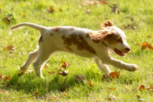 puppy galloping