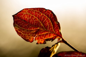 red brown dogwood leaf with yellow veins