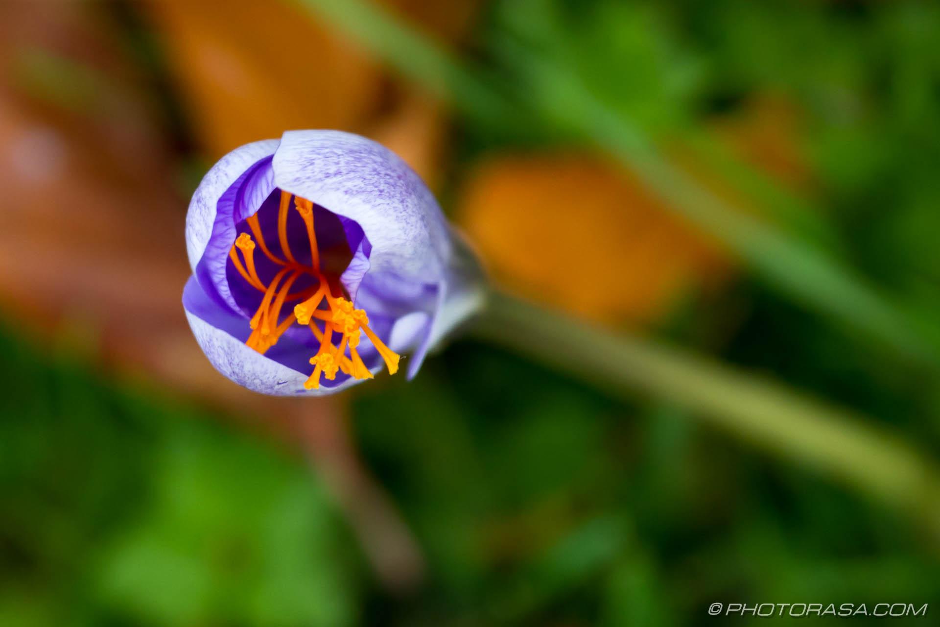 https://photorasa.com/purple-autumn-crocuses/shot-from-above-showing-orange-stamen-inside-purple-petals/