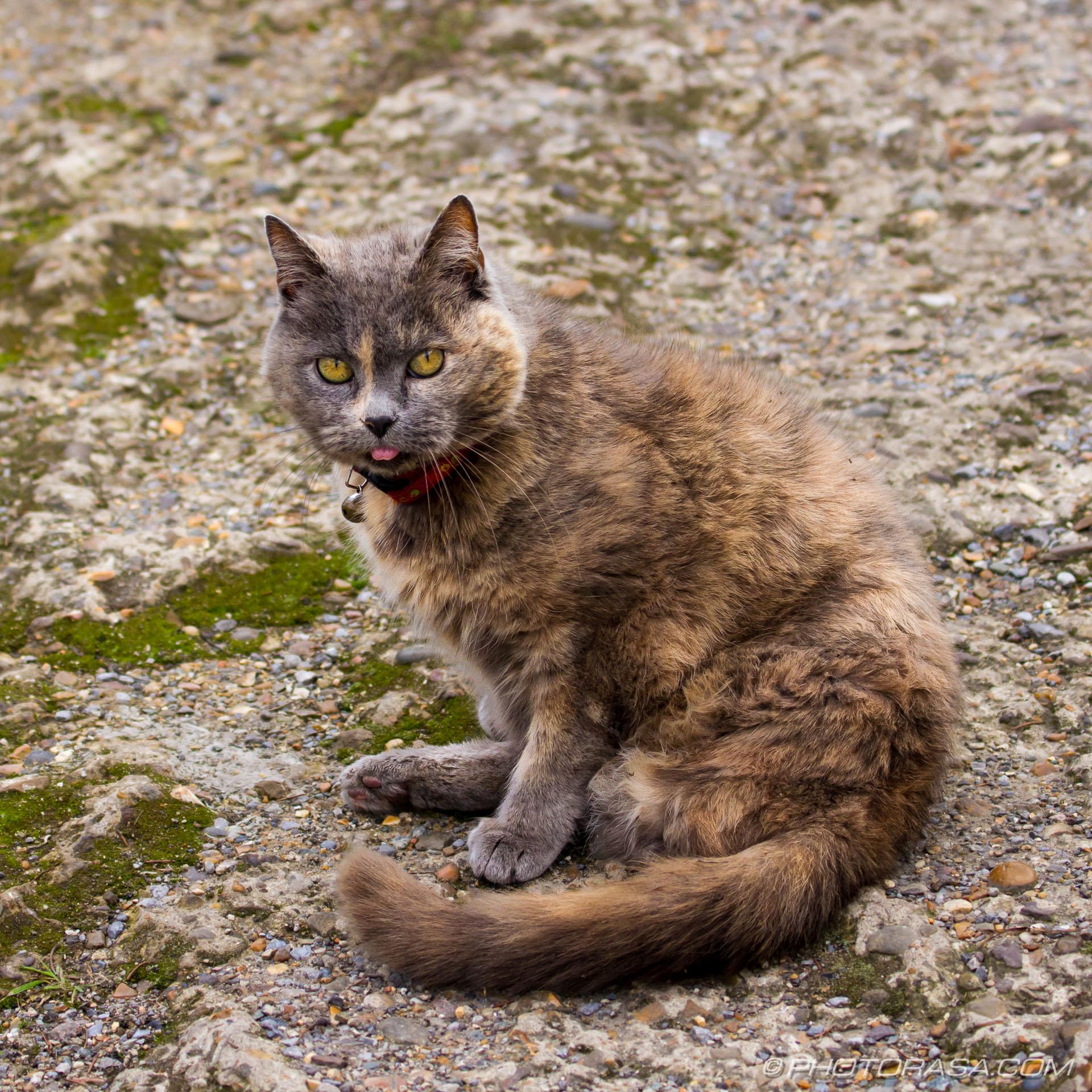 http://photorasa.com/grey-ginger-moggy/grey-ginger-cat-3/
