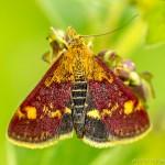 small red moth - pyrausta aurata