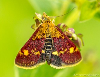 small red moth - pyrausta aurata