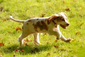 spaniel puppy trot