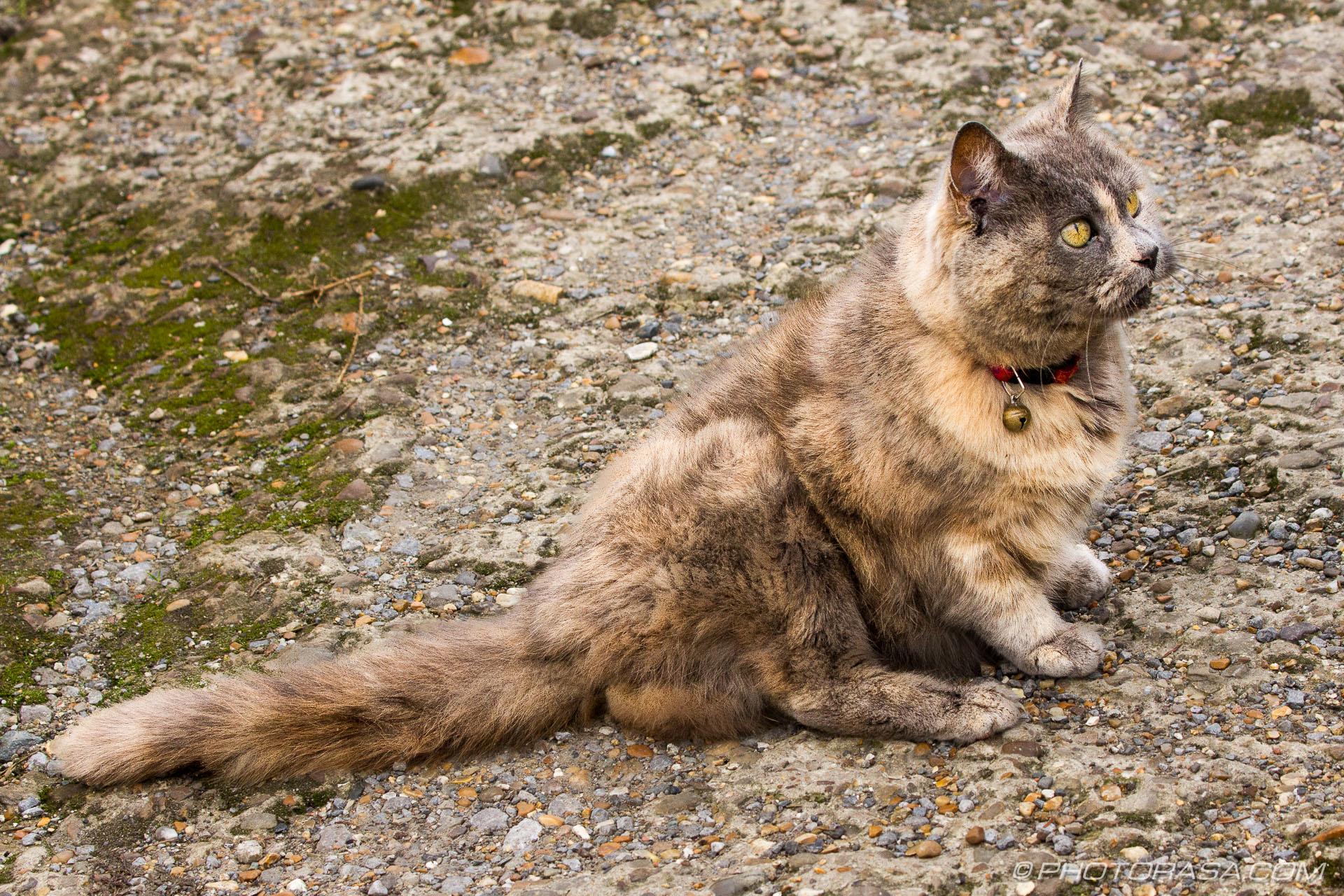 http://photorasa.com/grey-ginger-moggy/grey-ginger-cat-4/