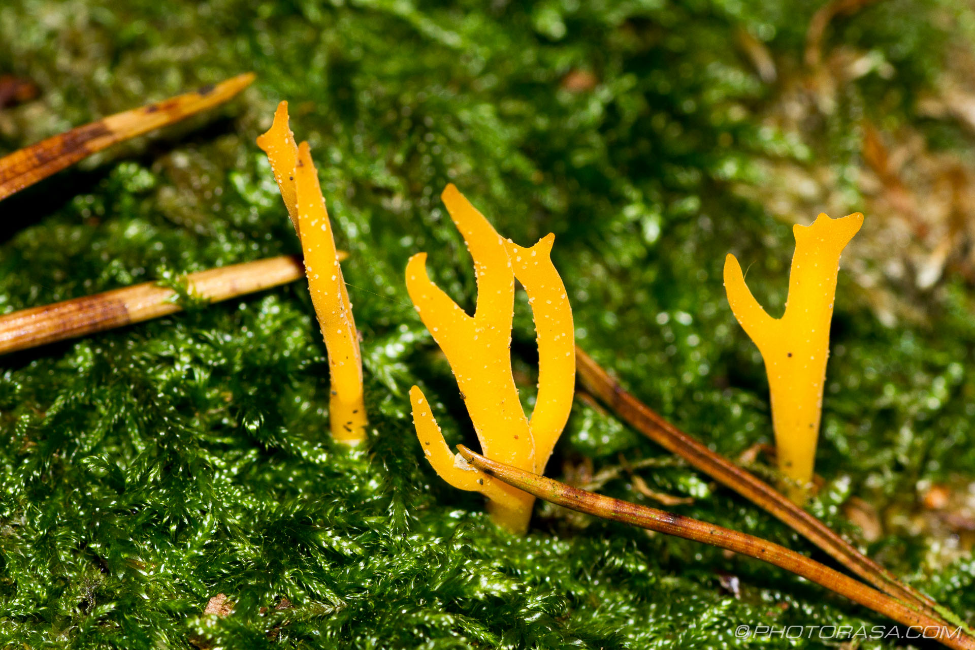 http://photorasa.com/yellow-staghorn-mushroom/three-sets-of-yellow-fingers/
