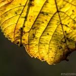 yellow autumn leaf close up