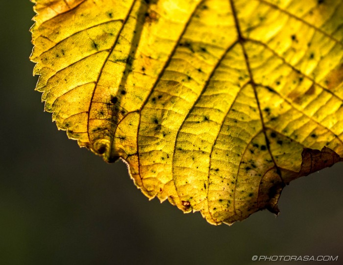 yellow autumn leaf close up