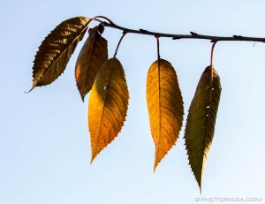 autumn elder leaves in light