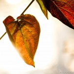 autumn leaves in strong sunlight