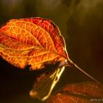 backlight brown red dogwood leaf