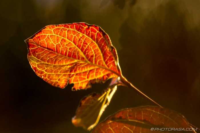 backlight brown red dogwood leaf