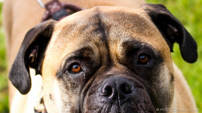 boxer eyes and nose