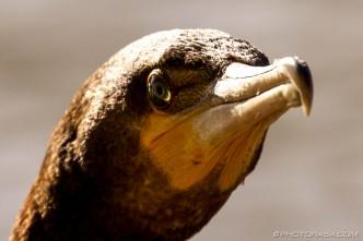 cormorant eye and beak