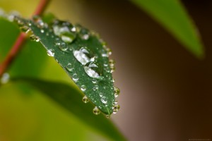 dewdrops about to dribble off leaf