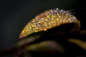 dewdrops on tiny autumn leaf