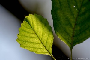 hazel leaf in autumn sunlight