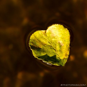 heart shaped leaf on water
