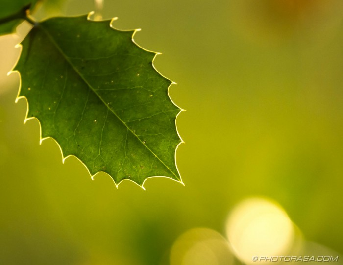 holly leaf and veins in autumn sunlight