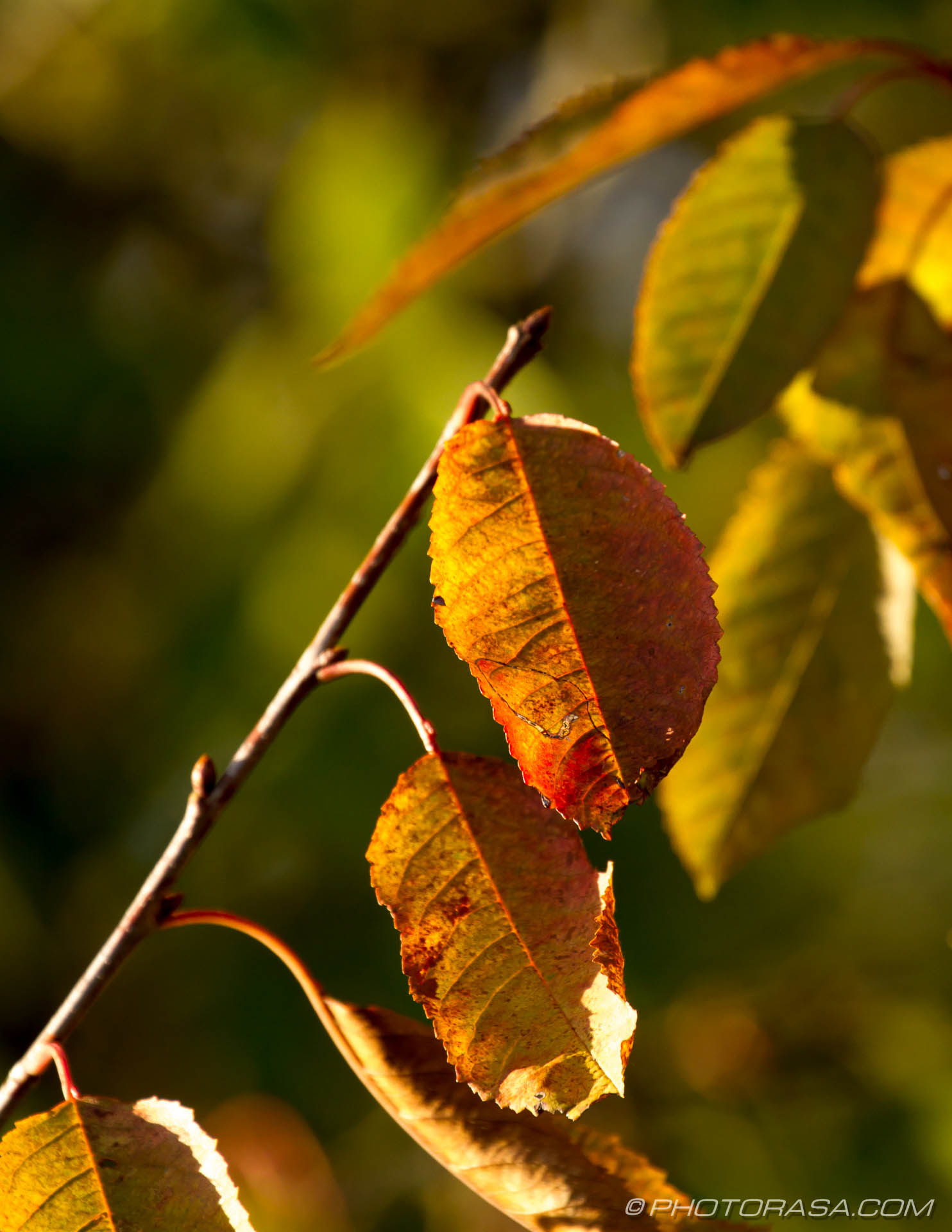 http://photorasa.com/autumn-leaves-sunlight/leaves-angled-on-a-branch/