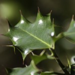 light on holly leaves