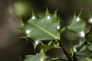 light on holly leaves