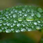 loads of tiny  water droplets on leaf