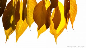old yellow beech leaves