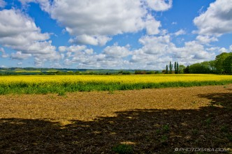 rapeseed field and blue sky in otham