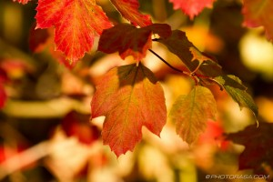 red and brown sycamore leaves