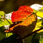 red stained leaf in sunlight