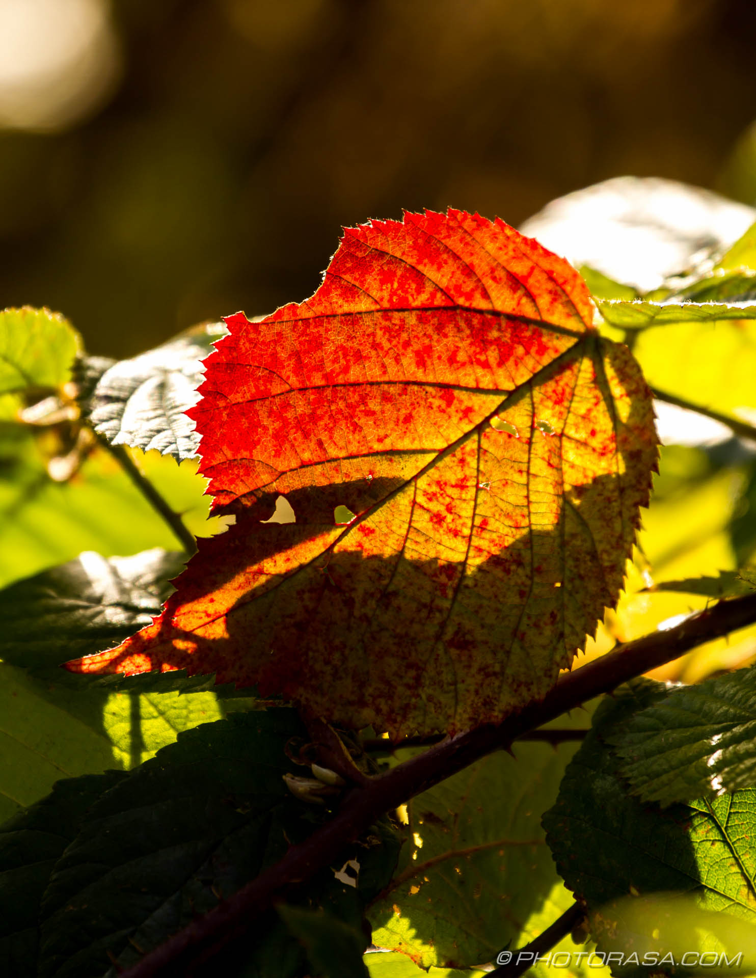 http://photorasa.com/autumn-leaves-sunlight/red-stained-leaf-in-sunlight/