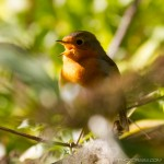 robin redbreast tweeting