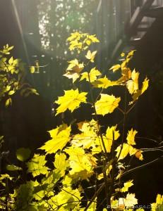 sunlight on yellow leaves
