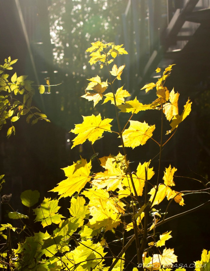 sunlight on yellow leaves