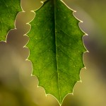 transparent holly leaf and veins