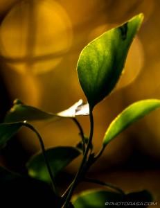 transparent vine leaves in autumn light