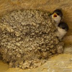 two juvenile housemartins crying for food