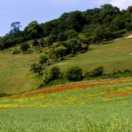 wild poppies and rapeseed
