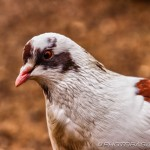 hdr white brown and grey speckled pigeon